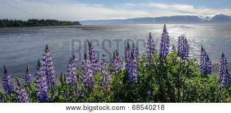 Lupines On Kachemak Bay 1