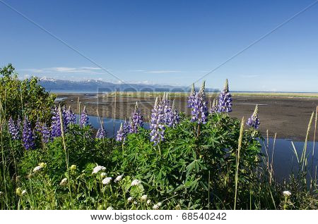 Lupines On Kachemak Bay 5