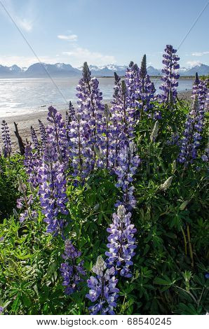 Lupines On Kachemak Bay 6