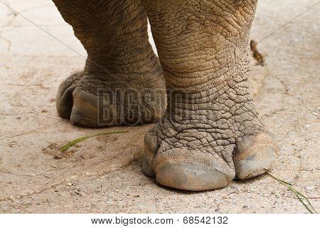 Rhino's foot