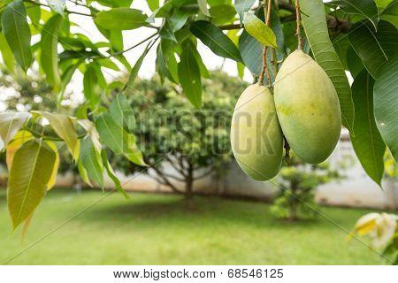 mango of fruit gardeners
