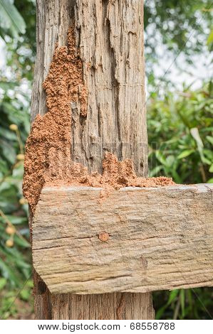 Termite On Fence Background