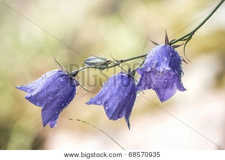 Bluebell Flower With Waterdrops