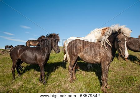 Icelandic horses are rather small and very beautiful. The breed was developed in Iceland and once exported outside the country animals cannot return