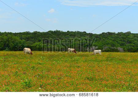 Longhorns eating grass
