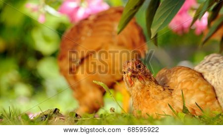Chicken Resting On Green Grass