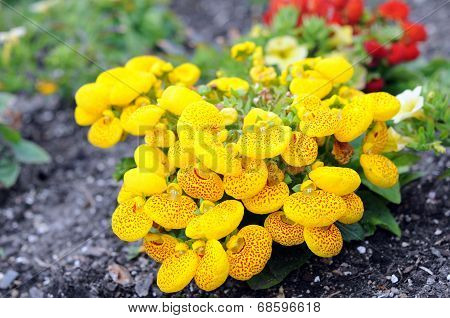 Yellow Pocketbook Flower