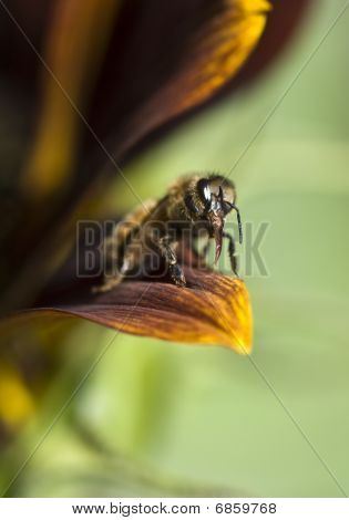 Honey Bee On Sunflower Petal Proboscis Close Up