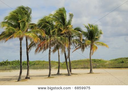Cluster Of Palm Tress