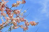 stock photo of cassia  - Cassia bakeriana Craib Beneath pink flowering tree similar sakura in Thailand - JPG