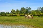 pic of great horse  - Herd of wild Camargue horses Soca River Mouth  - JPG