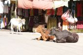 Cows lying on the road in india pic.
