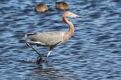 stock photo of gulf mexico  - Reddish Egret  - JPG