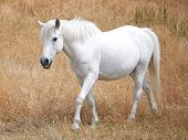 stock photo of white horse  - White horse walking in the fields in the sun - JPG