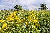 foto of goldenrod  - Yellow blooming Goldenrod or Solidago plants in their natural habitat - JPG