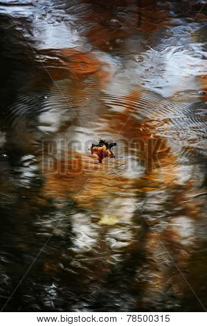 Autumn leaf floating on water with some reflection