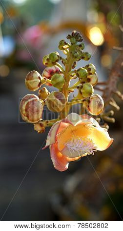 Couroupita Guianensis, Cannonball Tree Bloom Flower