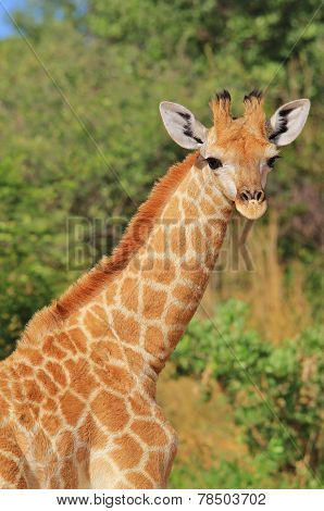 Giraffe - African Wildlife Background - Stare of Innocence