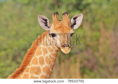 Giraffe - African Wildlife Background - Profile of a Calf