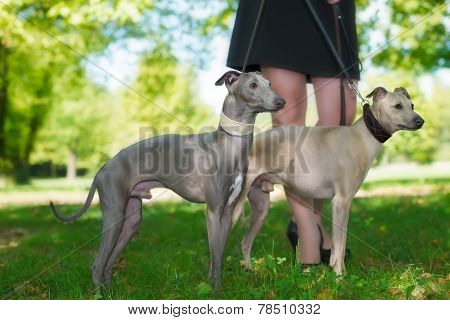 Legs Of The Girl  and Two Greyhounds