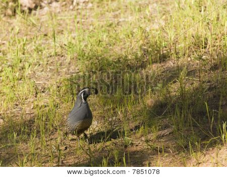Male California Valley Quail