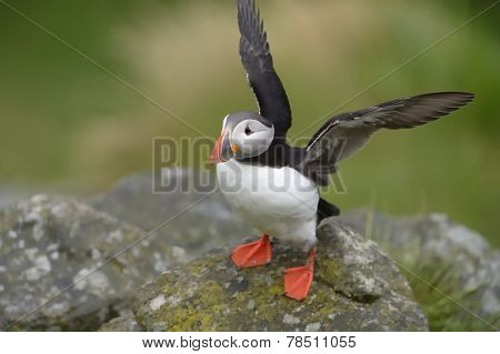 Atlantic puffin flapping