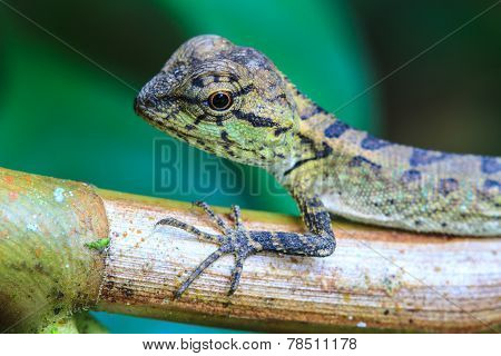 Green crested lizard, black face lizard, tree lizard