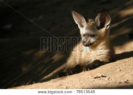 Bat-eared fox cub (Otocyon megalotis).