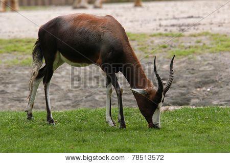 Blesbok antelope (Damaliscus pygargus pygarus).