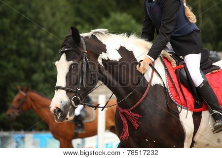 Piebald Tinker Horse Portrait