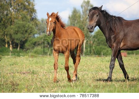 Chestnut Foal And Black Horse Walking At The Pasture
