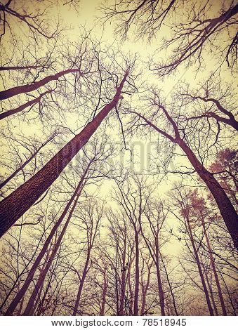 Looking Up Through Leafless Trees, Retro Filtered Background.