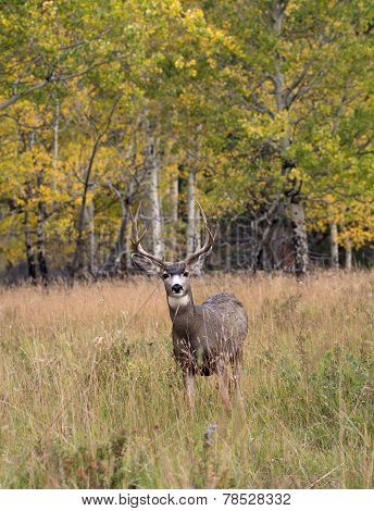 Mule Deer In Aspen
