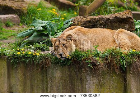 05 May 2013 - London Zoo - Lovely lioness at the zoo