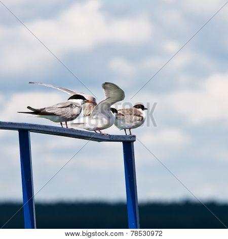 Seagulls On A Parapet