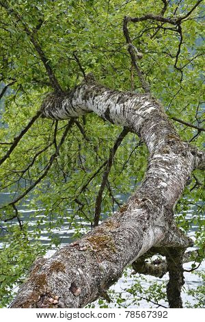 Birch Tree At The Lake Shore