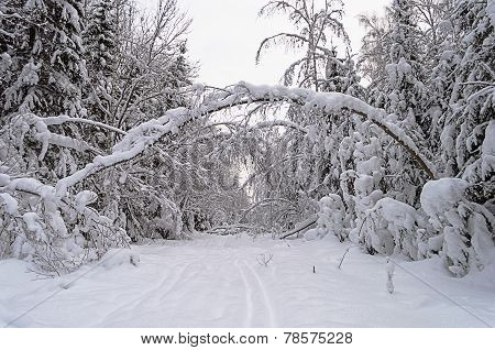 Snow-covered Trees In Winter Forest