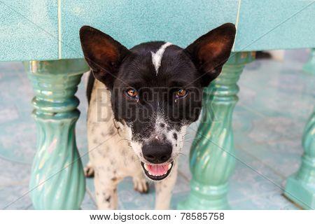 Hybrid Dog