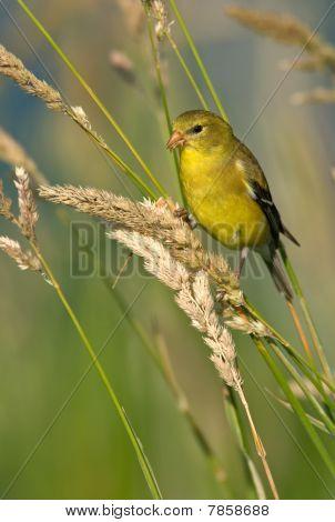 American Goldfinch (female Summer Plumage)