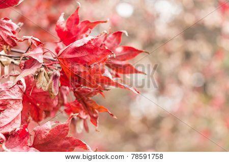 Dry Maple