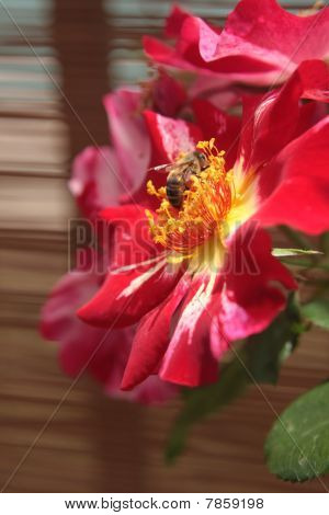 Bee gathering pollen on a blooming Fourth of July rose