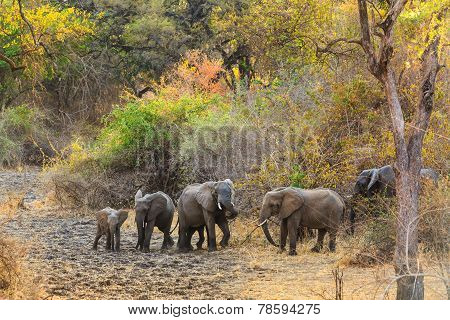 Couple Of Elephant Walking And Eating In The Bushes