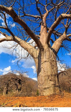 Boabab Tree In Africa