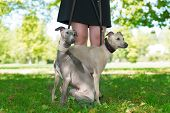 image of greyhounds  - Legs of the girl and  two greyhounds in the park - JPG