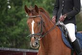 foto of  horse  - Brown horse portrait with bridle during horse show - JPG