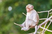 picture of macaque  - Monkey  - JPG