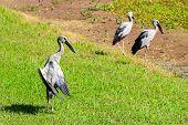 picture of stork  - Open - JPG