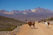 image of lamas  - Adult llama  - JPG