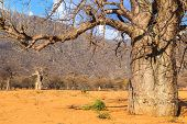 stock photo of baobab  - Trunk of baobab tree in a boabab forest in Africa - JPG