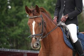 pic of chestnut horse  - Brown horse portrait with bridle during horse show - JPG